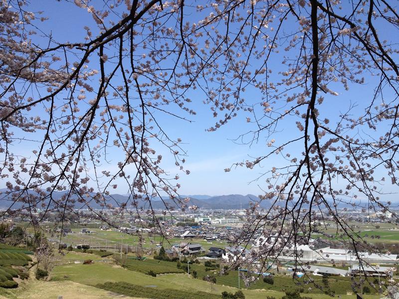 霞間ヶ渓から見る桜と新緑の茶畑