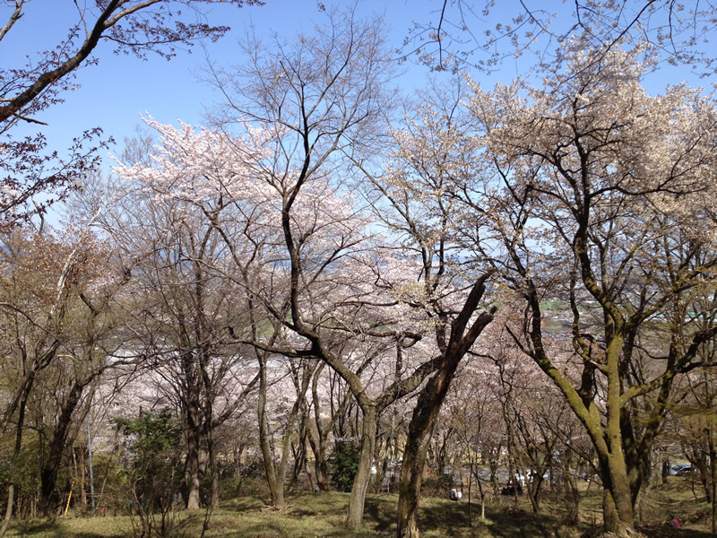 池田山 登山道の桜