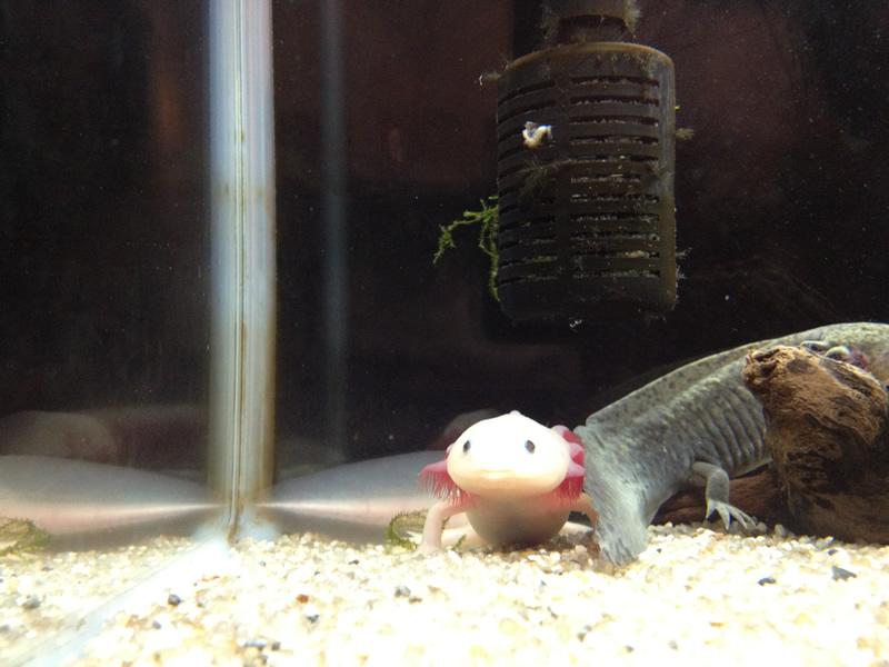 竹島水族館 ウーパールーパー