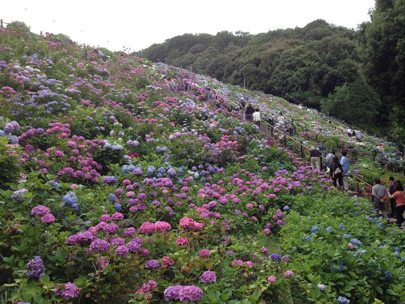 斜面に広がるあじさいの花