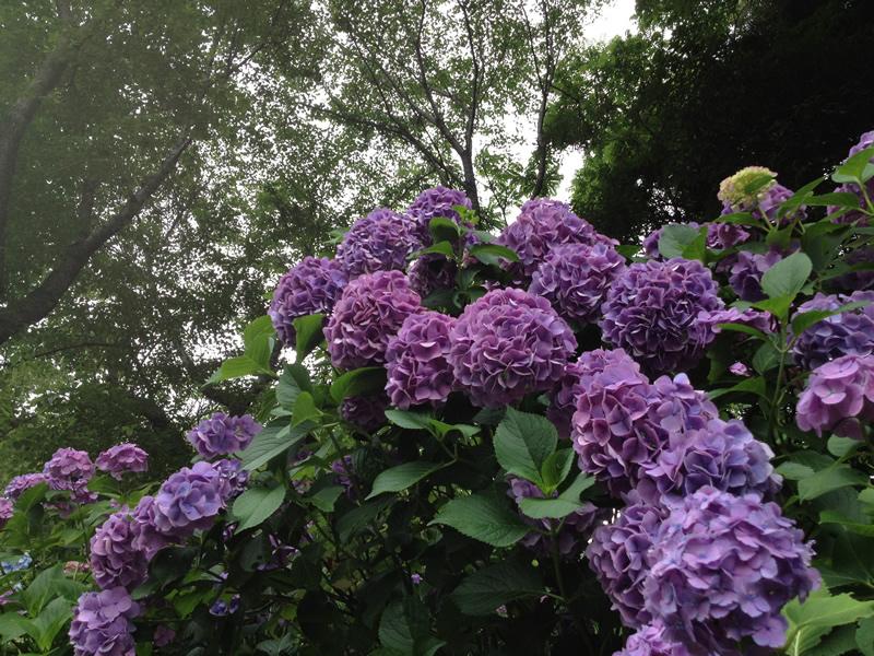 紫陽花の名にふさわしい紫色