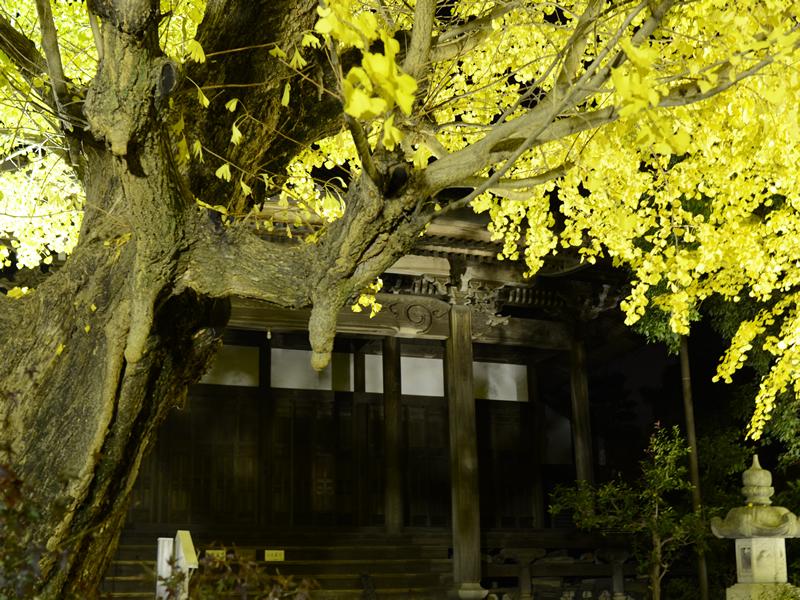 祐専寺のイチョウの木