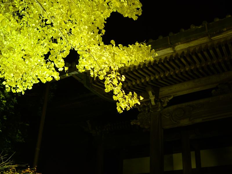 祐専寺のイチョウライトアップ5