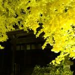 祐専寺のイチョウライトアップ4