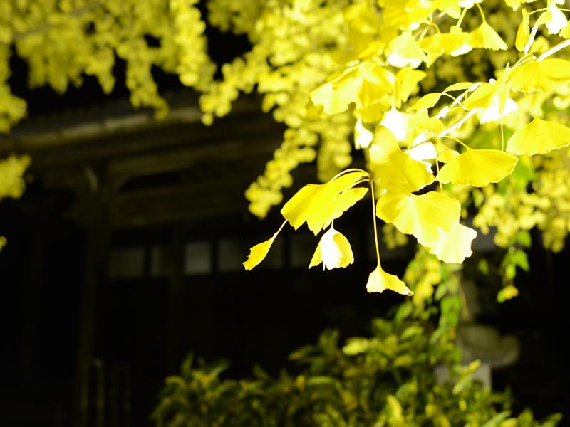 祐専寺のイチョウライトアップ2