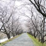 墨俣の桜並木