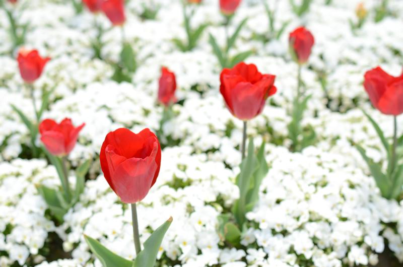 白い花に浮かぶチューリップ