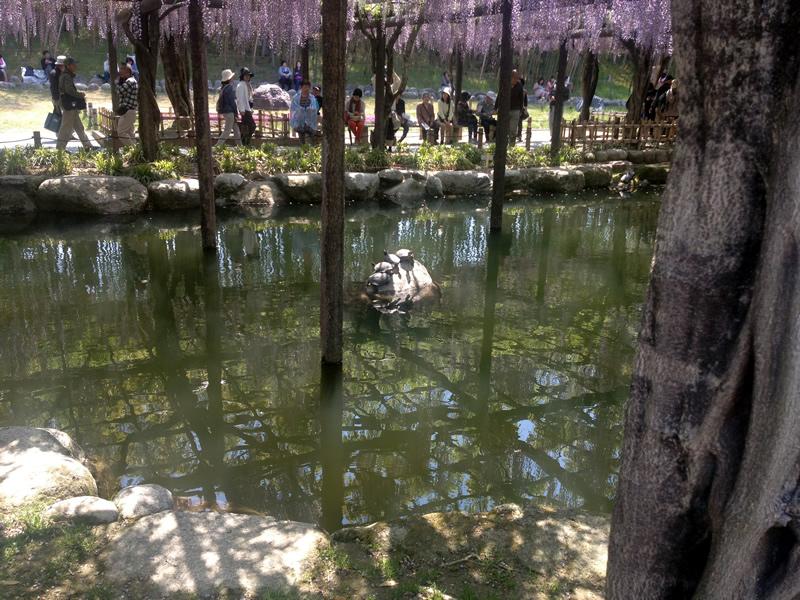 天王川公園 藤祭り 亀のひなたぼっこ