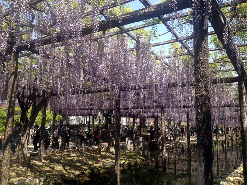天王川公園 藤祭り 逆さ藤?