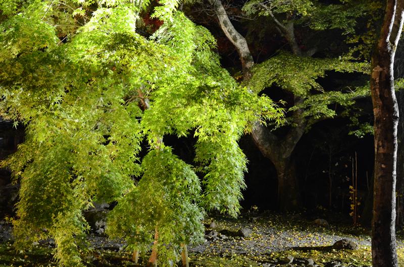 永源寺 ライトアップに映える緑葉