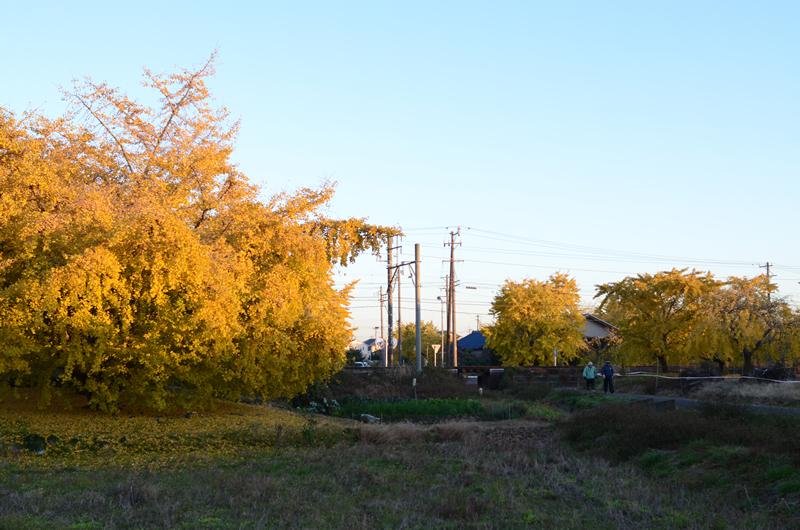 イチョウ並木を散策する人々3
