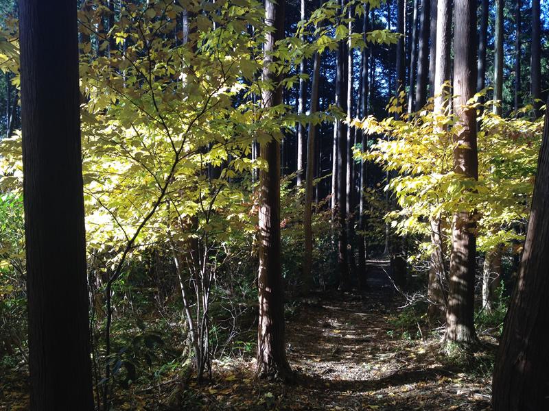 谷汲山 東海自然歩道の黄葉1