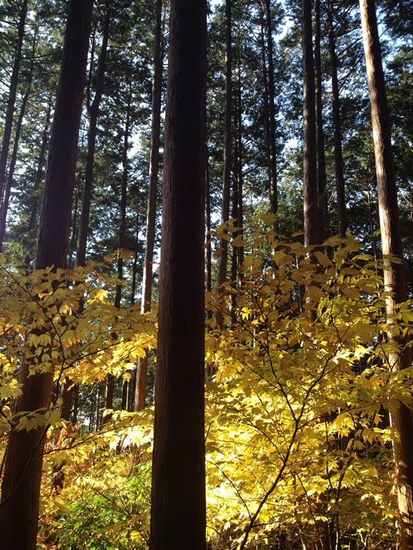 谷汲山 林道の黄葉