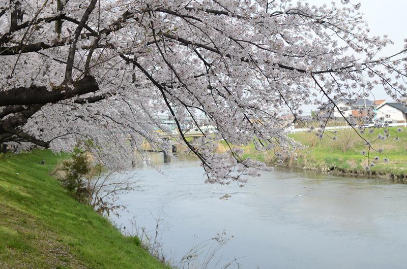 清洲の桜と五条川