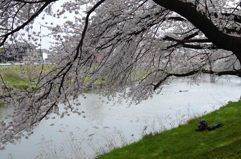 清洲の桜と河川敷の子供