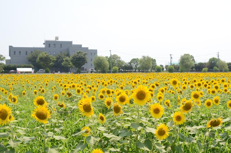 羽島浄化センターとひまわり