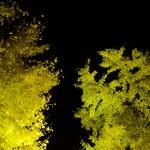 祖父江イチョウの闇夜のライトアップ