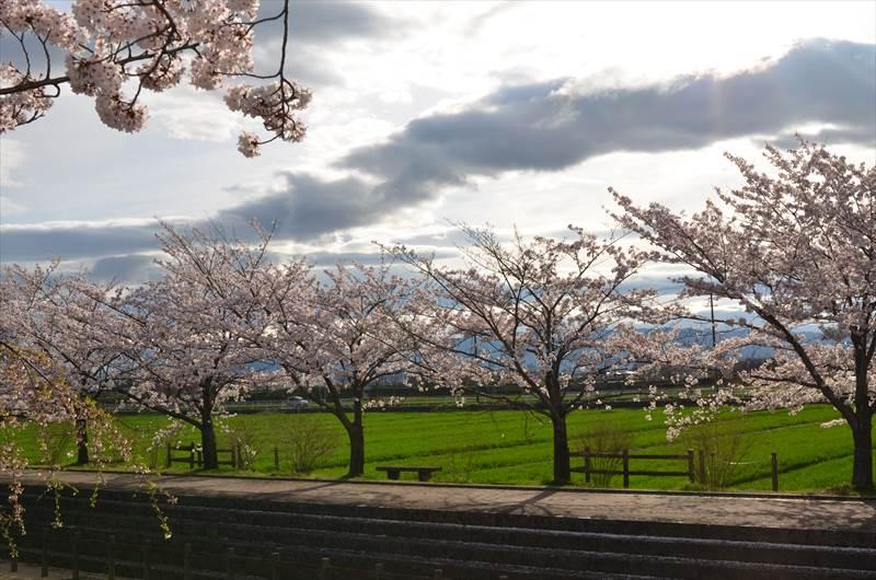 桜ネックレスと田んぼの緑