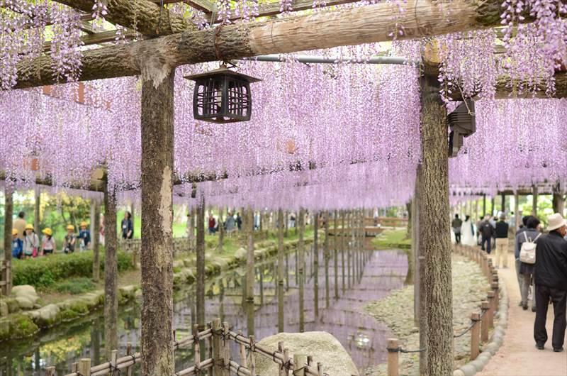 天王川の藤