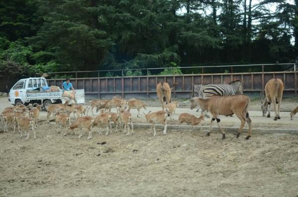 群馬 夕暮れサファリ 餌に群がる動物