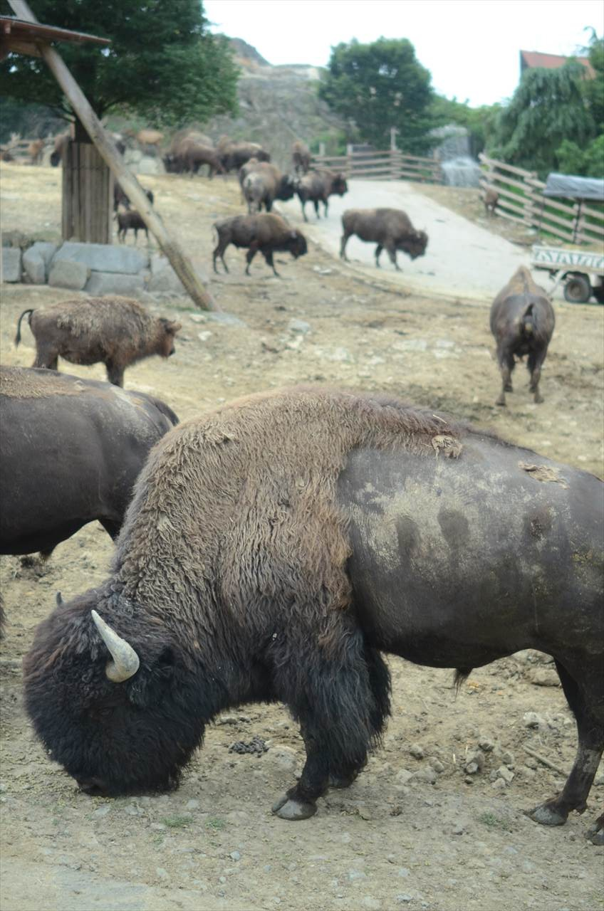 群馬 夕暮れサファリ 水牛