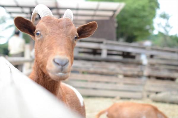 群馬サファリ 山羊