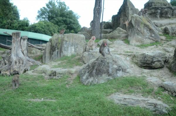 群馬 夕暮れサファリ 猿の群れ