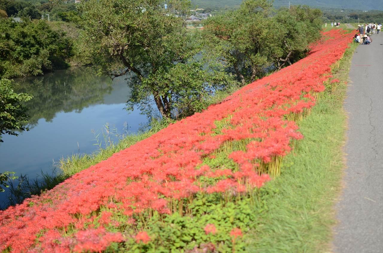 津屋川堤防の彼岸花