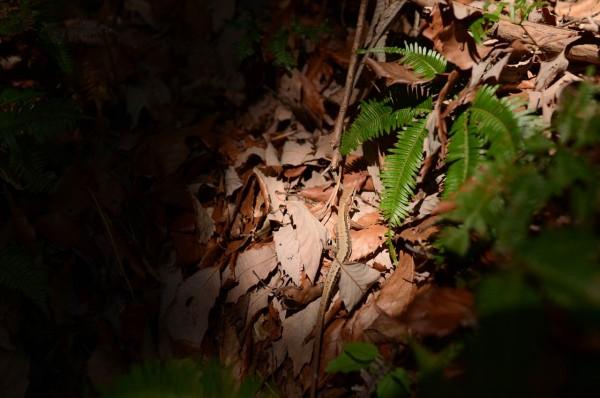 月見の森にいたトカゲ
