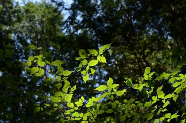 月見の森 新緑の葉