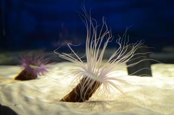 ニフレル水族館 イソギンチャク