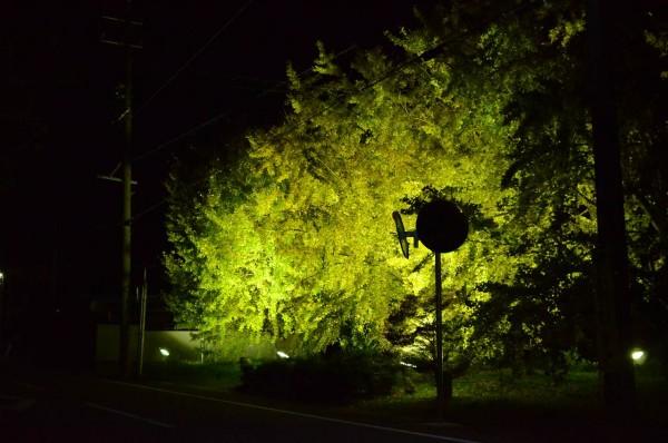 祖父江イチョウ黄葉まつりの風景