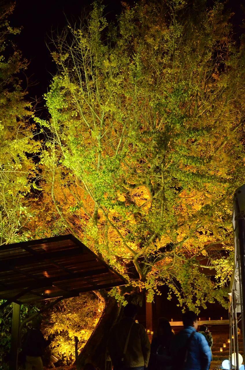 祖父江イチョウ黄葉まつり_祐専寺の大銀杏の木を見上げる
