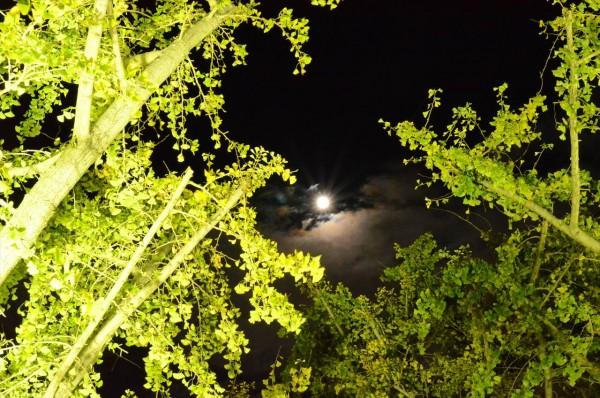 祖父江イチョウ黄葉まつり_月と銀杏の木