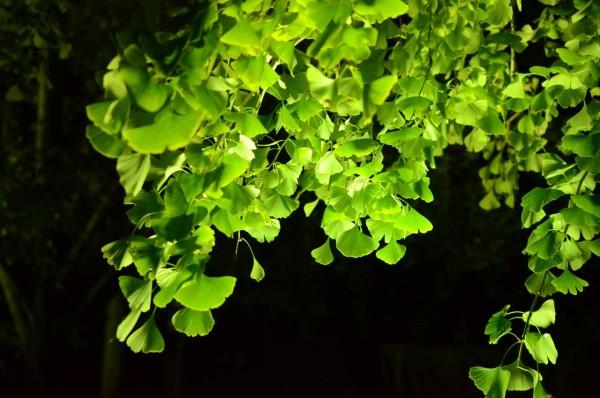 祖父江イチョウ黄葉まつり_黄緑の銀杏の葉