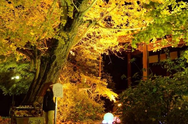 チョウ黄葉まつり_ライトアップ_祐専寺の境内